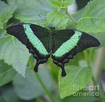 Banded Peacock Butterfly II by Marilyn Smith