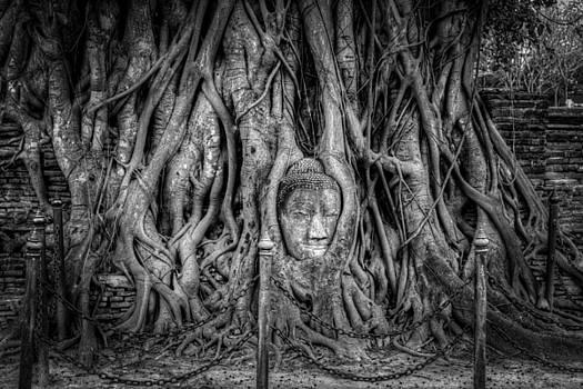 Adrian Evans - Banyan Tree