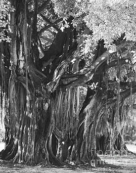 Banyan Tree at The Museum by Robert  Suggs