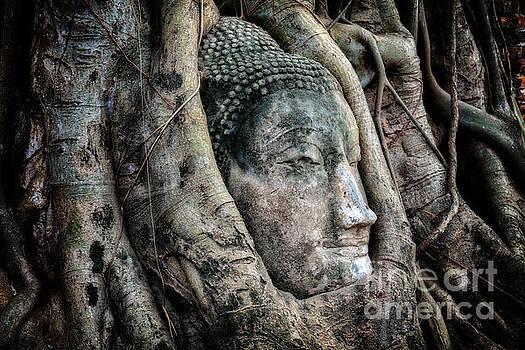 Adrian Evans - Banyan Tree Buddha