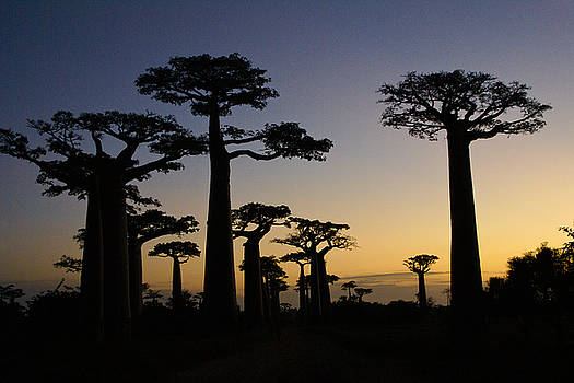 Michele Burgess - Baobab Forest at Sunset