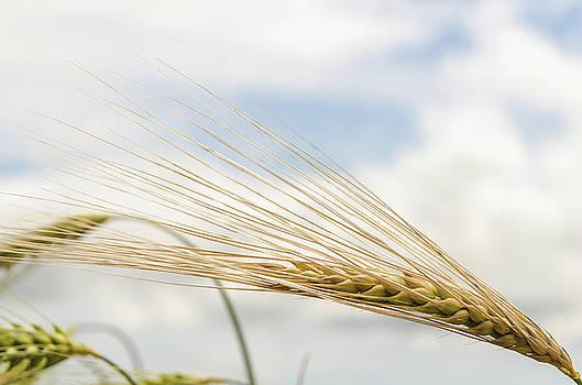 Barley by Jeremy Sage