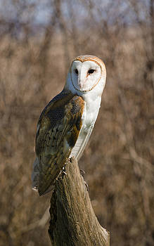 Barn Owl 2 by Tracy Winter