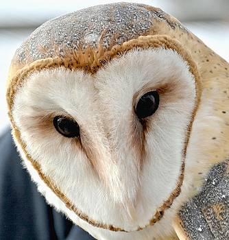 Barn Owl by Amy McDaniel