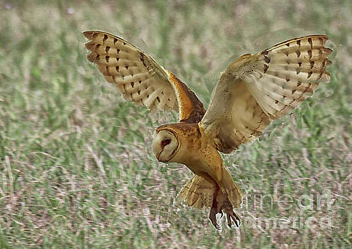 Barn Owl coming in for a landing by Myrna Bradshaw