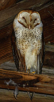 Barn Owl by Jerry Cahill