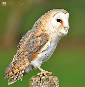Barn Owl Perched by Bev Brown
