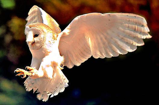 Barn Owl Swooping by Bev  Brown
