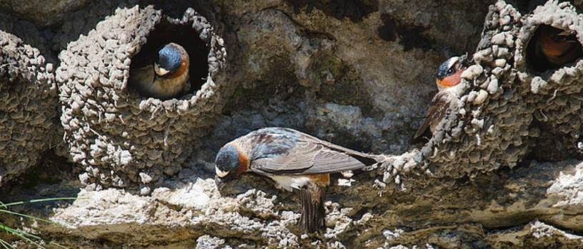Barn Swallows Nests by Crystal Wightman