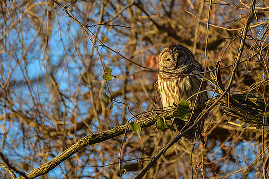 Barred Owl 1 by Marshall Bannister