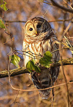Barred Owl 2 by Marshall Bannister