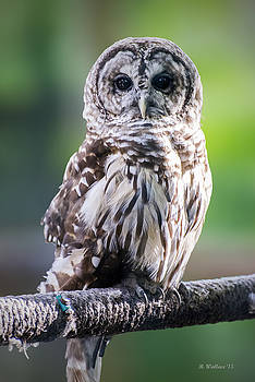 Barred Owl by Brian Wallace