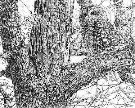 Barred Owl by Craig Carlson