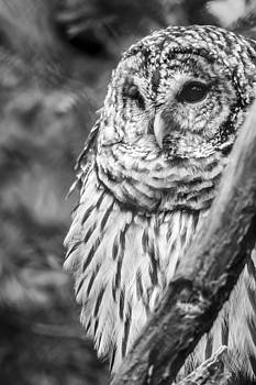 Barred Owl in Thought  by Tracy Winter