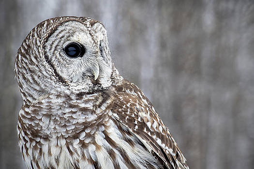Barred Owl No. 2 by Angie Rea