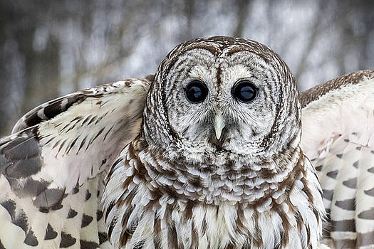Barred Owl with Open Wings by Angie Rea