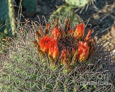 Barrel Cactus by Steve Whalen