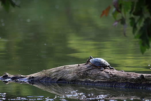 Basking Turtle by Lyle Hatch