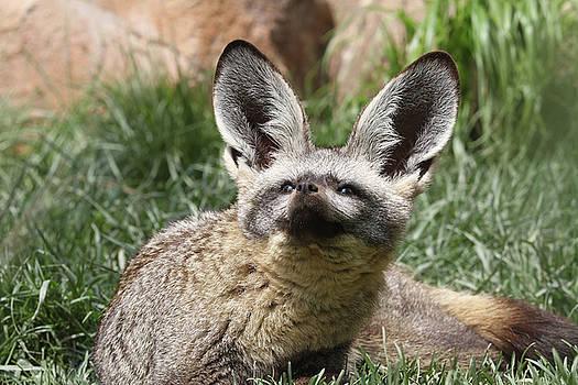 Bat-eared Fox by Judy Whitton
