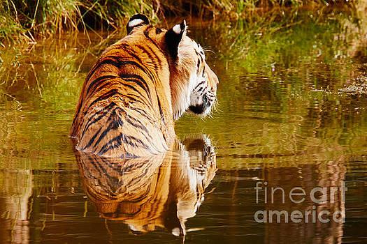 Nick  Biemans - Bathing tiger