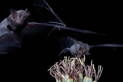 Bats at work by E Mac MacKay