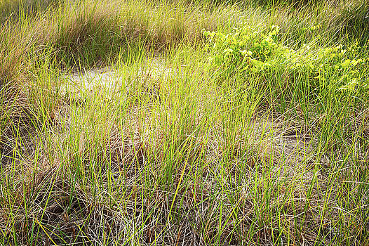 Beach Grasses Number 8 by Steve Gadomski
