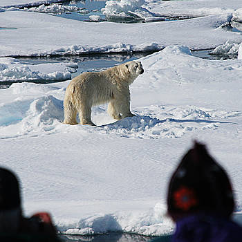 Bear in the Arctic by Jim Kuhlmann