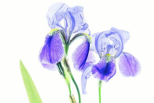Bearded Iris by Robert FERD Frank
