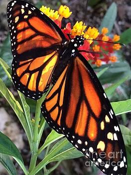 Beautfiul Monarch by Carol McGunagle