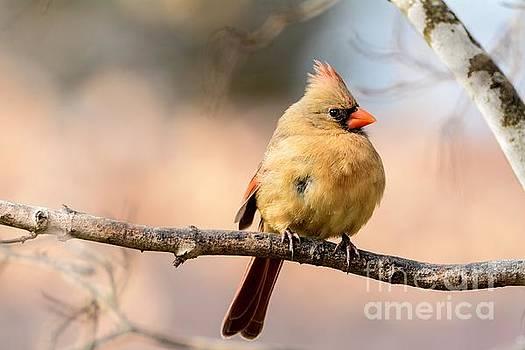 Beautiful Cardinal by Debbie Green