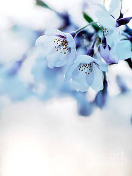 Beautiful cherry blossom flowers by Oleksiy Maksymenko