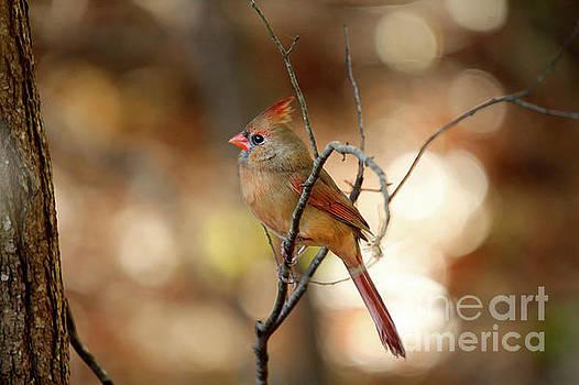 Beautiful Female Cardinal by Darren Fisher
