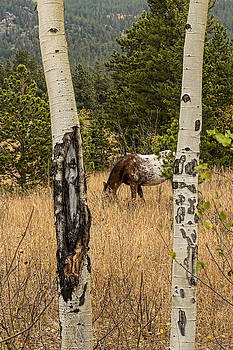 James BO  Insogna - Beautiful Horse Through The Aspen Trees Portrait