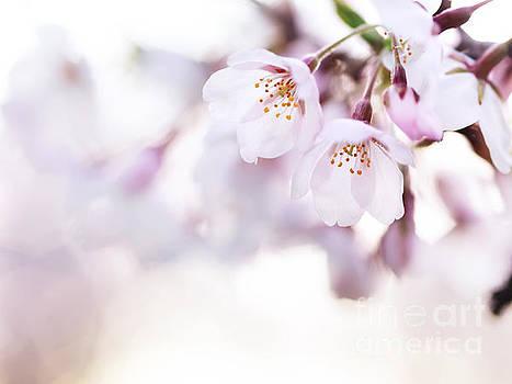 Beautiful pink cherry blossom by Oleksiy Maksymenko