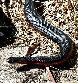 Beautiful Red-bellied Black Snake  by Miroslava Jurcik