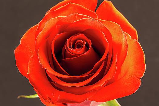 Beautiful Red Rose by Greg Thiemeyer