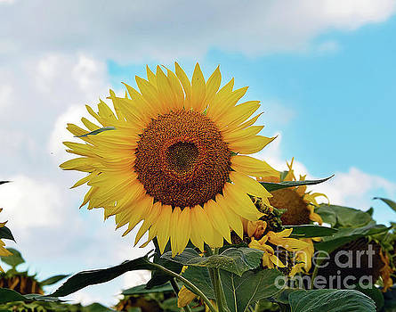Beautiful Sunflower by Elvira Ladocki
