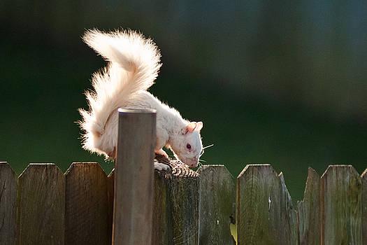 Beautiful White Squirrel by Randall Branham