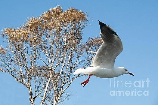 Beautiful Australian Seagull. Exclusive Photo Art. by Geoff Childs