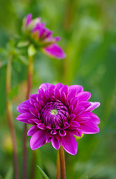 Beauty of the Dahlia by Marilyn Peterson