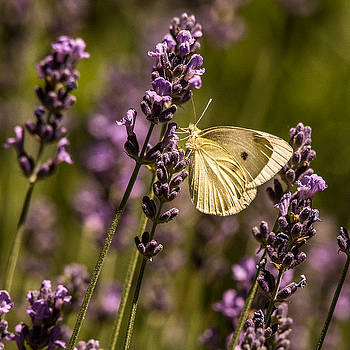 Beckers on Lavender by Janis Knight