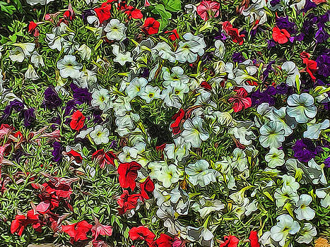 Cindy Boyd - Bed of White petunias