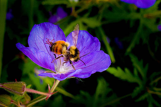 Bee and Flower by Elaine Goss