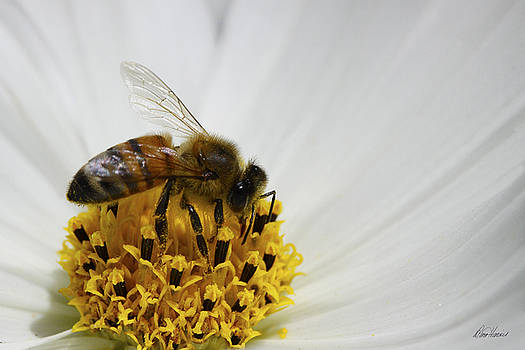Diana Haronis - Bee In Poppy