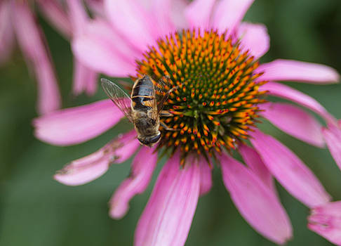 Bee on Cone Flower 1 by Donna Jacobi