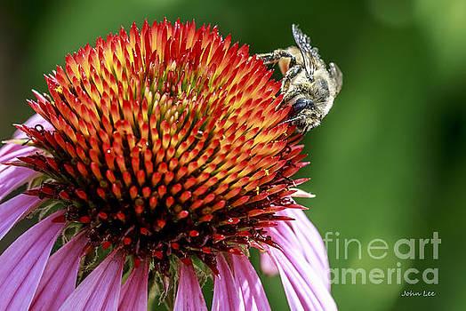 Bee on Coneflower by John Lee