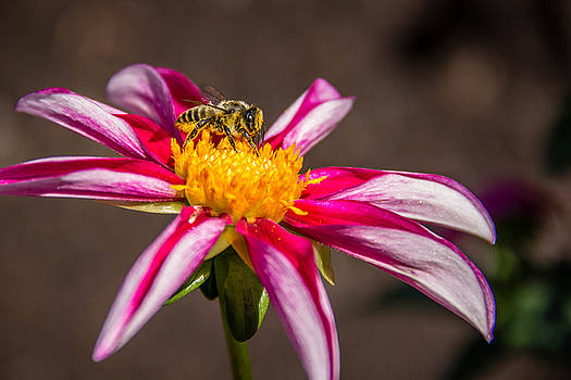 Bee on Dahlia by Randy Bayne