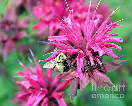 Bee on Flower by Selma Glunn