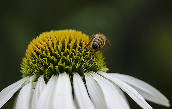 Bee on flower by Tony Pearse