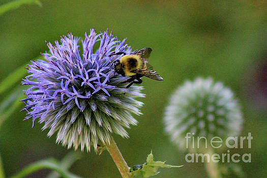 Bee on Globe Thistle by Karen Adams